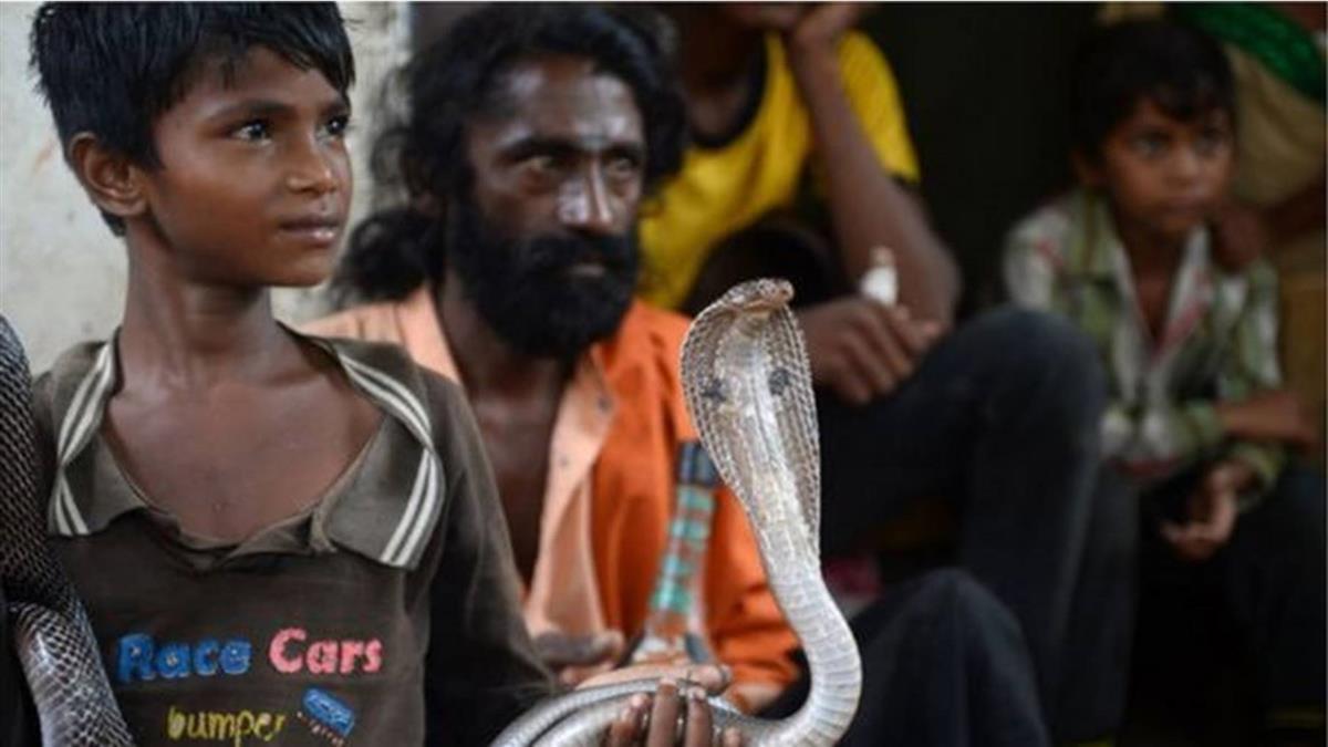 印度猛似新冠的奪命毒蛇和世衛組織呼籲重視