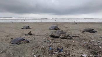 160隻海龜伴50噸垃圾沖上岸 困灘慘斷頭