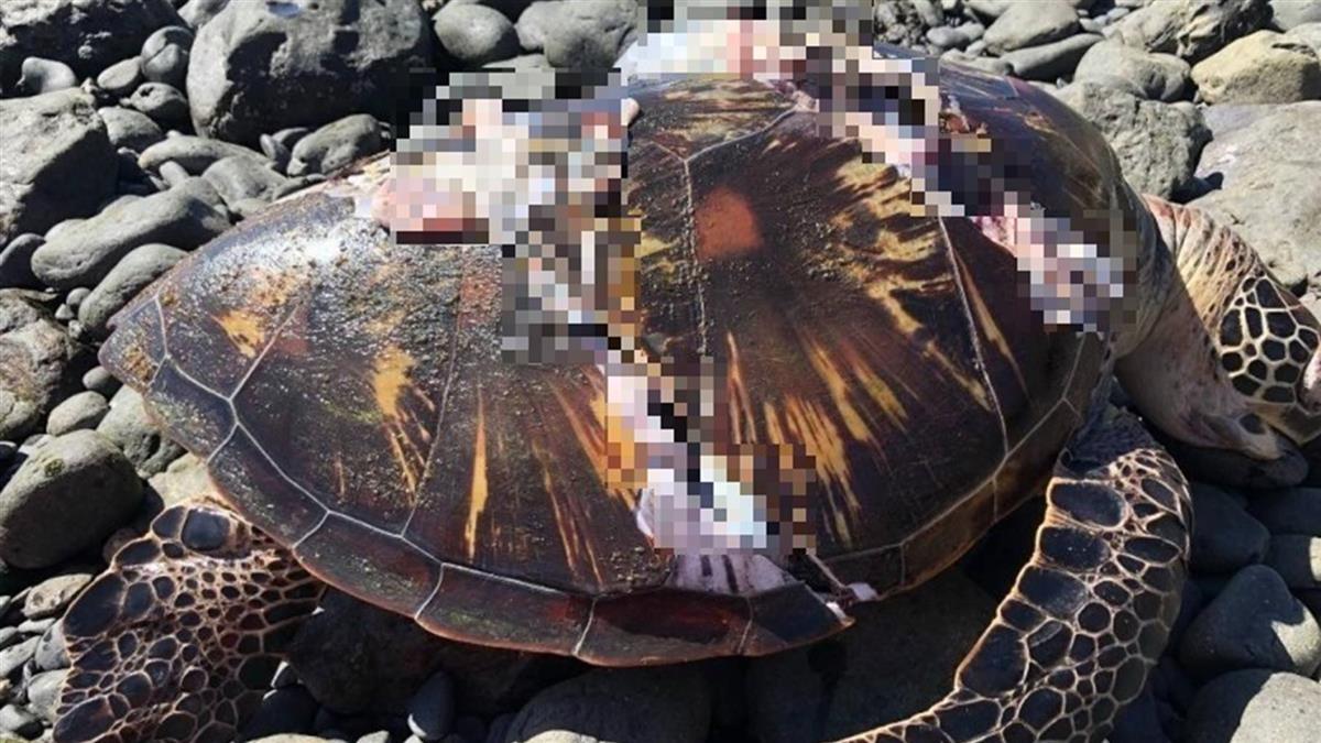 澎湖七美岸際 發現死亡綠蠵龜