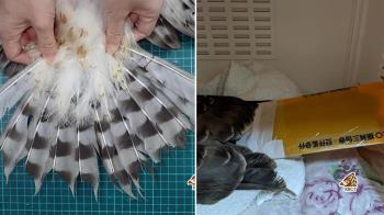 三倍券塑膠夾可救猛禽!急募200片…7小時達標