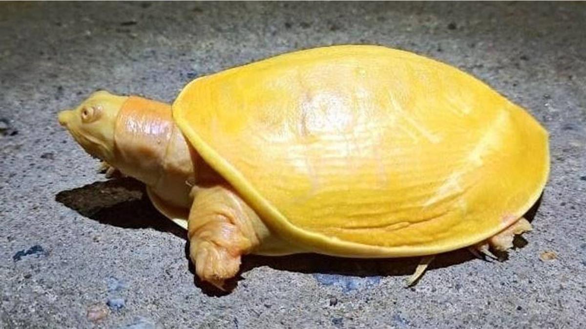 罕見黃金鱉有雙粉紅眼 專家點出病因「難存活」