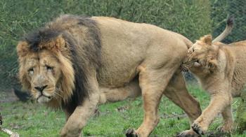 母獅一天要20到40次!公獅遭緊咬不放 冏臉原因曝
