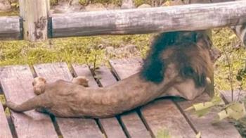 壽山動物園雄獅瘦成紙片? 園方曝真實體重