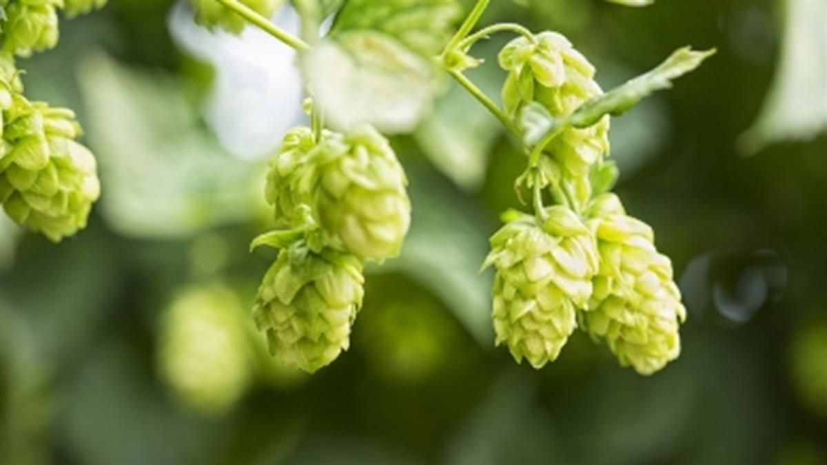 啤酒裡的「啤酒花」 原來是夏日悶痘的元凶!