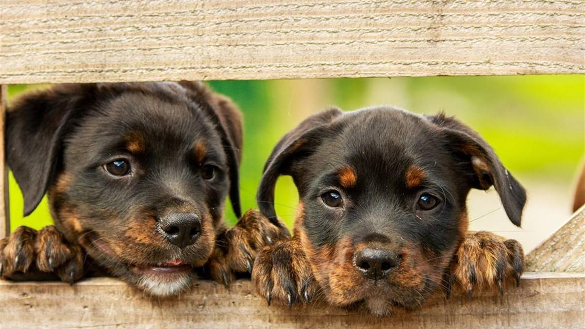 日本首度驗出 染疫患者寵物狗病毒也呈陽性