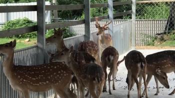 小琉球不止能玩水 有鹿園可以餵養鹿群