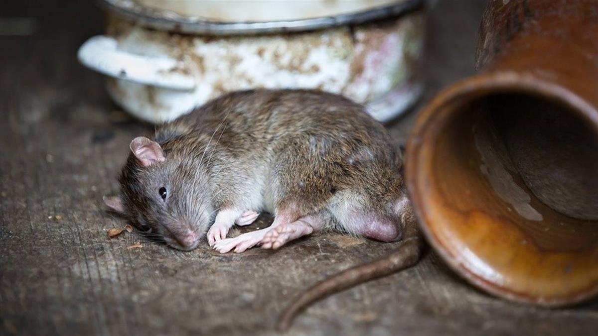 睡夢時疑遭老鼠咬傷頭 澎湖男感染昏迷搶救中