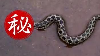 驚見劇毒雙頭蛇...被咬一口就致命!超恐怖畫面曝