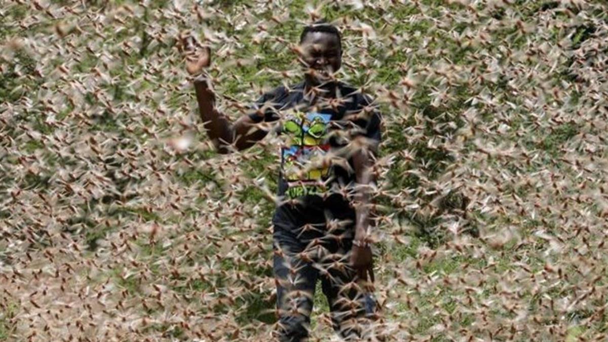 中國科學家破解蝗蟲聚群秘密 有望為抗災鋪路