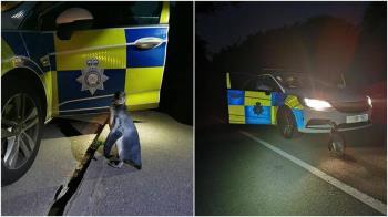 深夜巡邏撞見逃家企鵝 警曝:牠夜遊走1.6公里