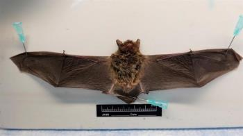 基隆蝙蝠驗出「麗沙病毒」 防檢局示警了