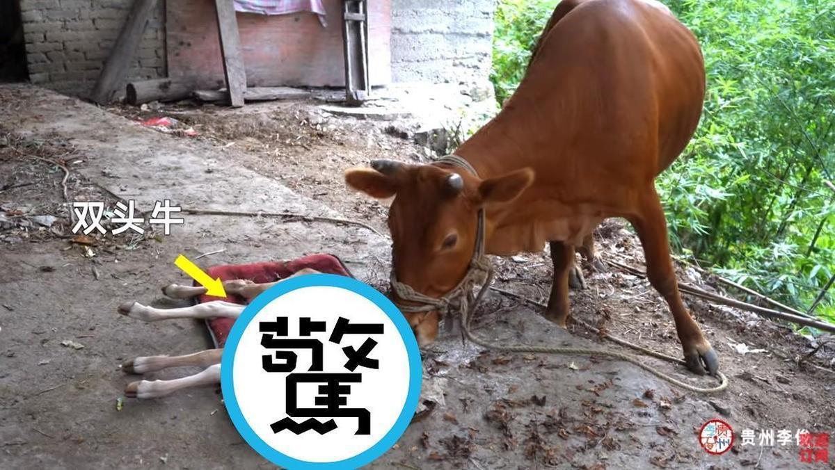 母牛生下罕見雙頭牛 2個嘴巴都能喝奶