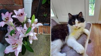 貓咪狂揍百合花染劇毒 獸醫宣告「可能熬不過今晚」
