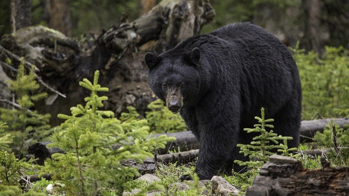 屋外講電話!44歲女突遭黑熊撕咬慘死 9歲兒目睹崩潰