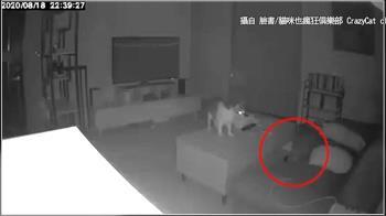 白影閃過!飼主暖PO去世貓回家 科學迷信網友激辯