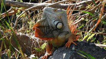 綠鬣蜥、食蛇龜將納管 11月底前未登記最高罰5萬