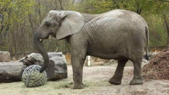 走不出長輩過世傷痛 動物園大象獲大麻紓壓
