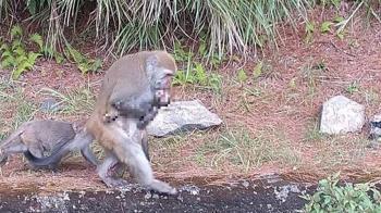 玉山小獼猴遭路殺!猴媽媽抱屍覓食7天…放下了