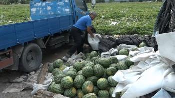 3000顆西瓜被棄單!78歲老農損失15萬  民熱心救援秒掃空