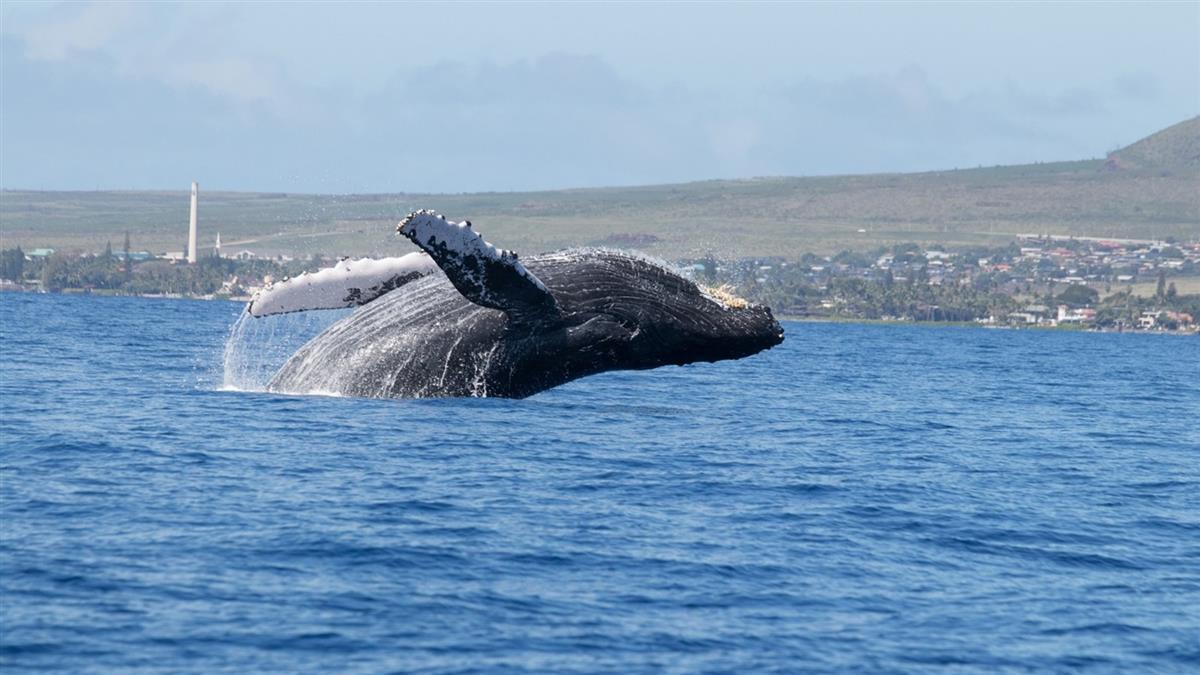 25公尺深海巨獸現蹤!浮出海面噴水呼吸 百年只被目擊3次