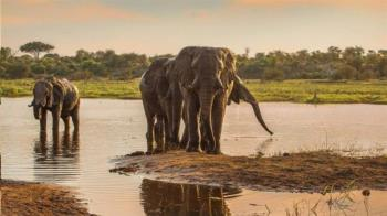 揭秘大象社會:你所不了解的年長公象的角色