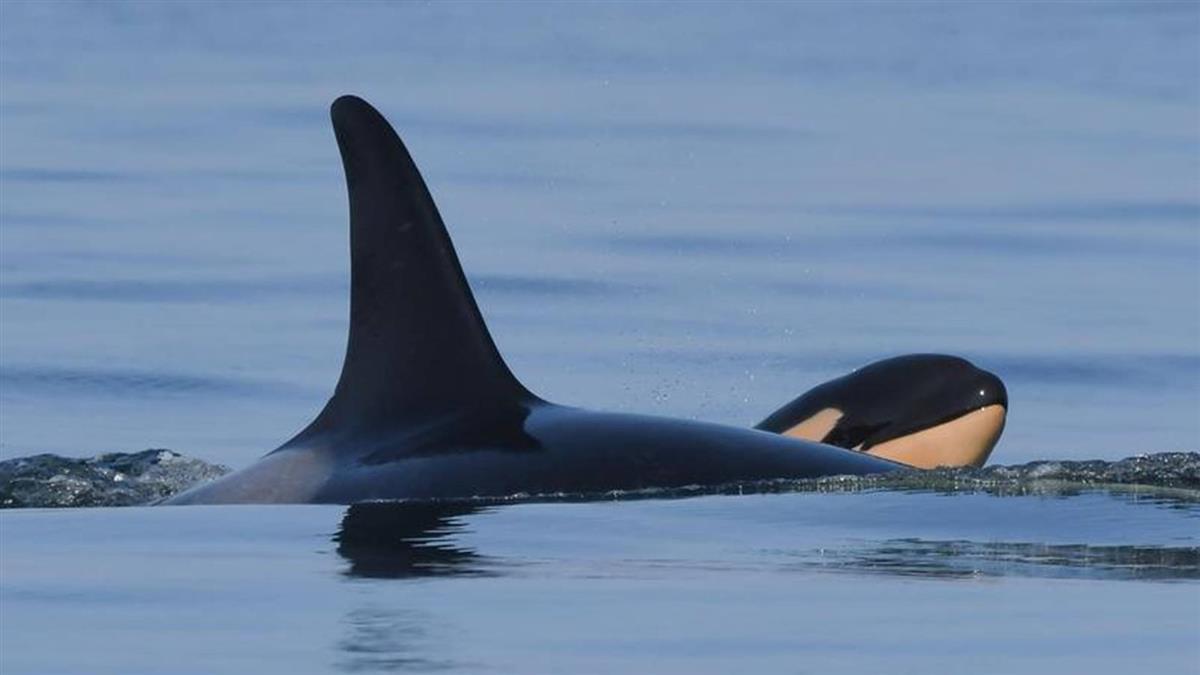 頂著寶寶屍體游了17天 虎鯨媽媽2年後產下健康幼鯨