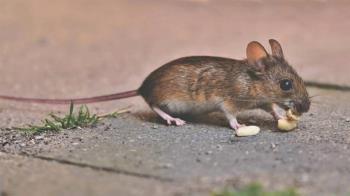 吞「烤老鼠」度疫情難關!營養師喊話「能抓儘量抓」:是蛋白質來源