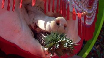 台灣客家祭祀:強迫灌食肥豬變八百公斤「神豬」 被批虐待動物