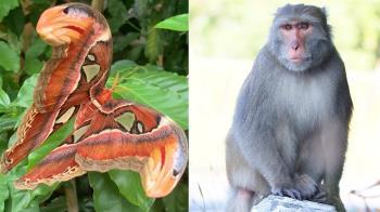 珍貴皇蛾蛹遭識貨母猴吃光...專家:幫小猴進補