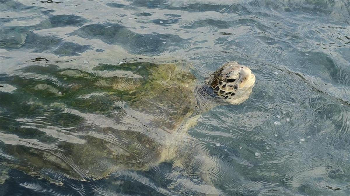 綠蠵龜誤入九孔池覓食 15天後終於脫困
