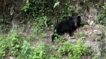 黑熊現蹤南橫公路 滑下山壁奮力攀爬萌樣曝