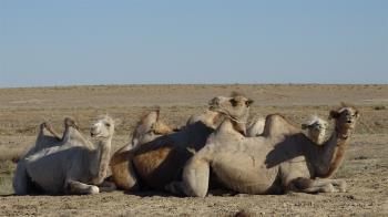 邊境衝突新利器!印軍部署50隻駱駝 支援邊境運輸