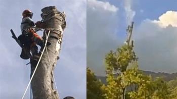 35層樓高大樹!台東工人耗費7天 才成功砍倒