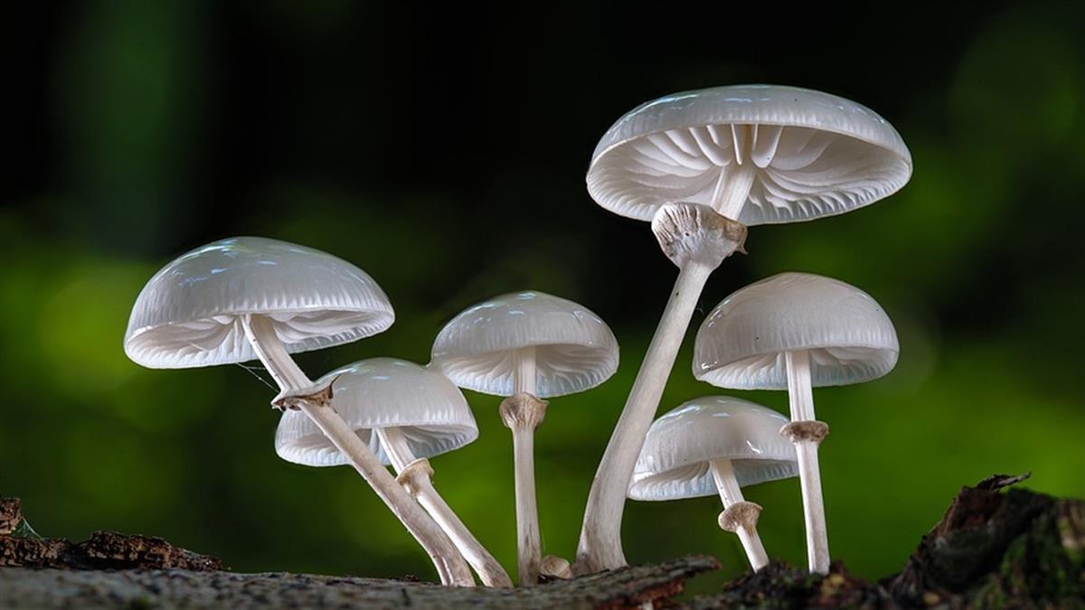 他離奇陳屍水溝!腹中驚見7片蘑菇 妻手機搜尋紀錄露餡