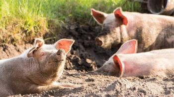 網傳小豬抽搐影片 防檢局:與萊克多巴胺無關