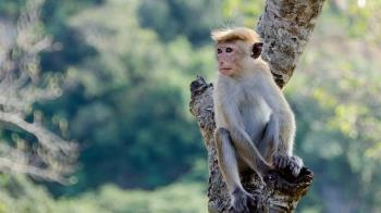 為取得腦部數據!猴子頭殼遭挖洞放電擊棒 殘忍畫面曝