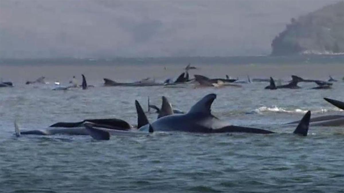 澳洲500隻鯨魚集體擱淺 離群太痛苦遭安樂死