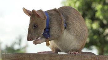 非洲巨鼠找出數十地雷及未爆彈 獲頒動物勇氣獎