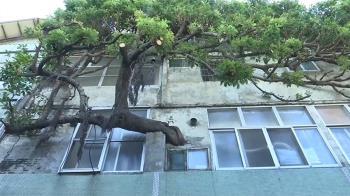 彰化奇屋!大樹幹穿破梁柱長到2樓廁所 屋主:不會卡卡