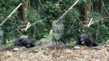 台灣黑熊遭鋼索陷阱纏住 怒吼狂咬滿嘴血