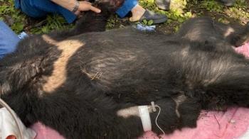又傳台灣黑熊誤觸陷阱受傷 呂秋遠嘆:是人類入侵他們的家