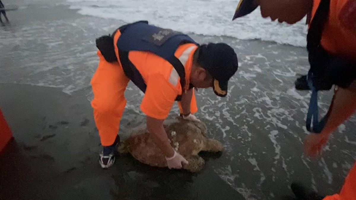 台東都歷大灣發現綠蠵龜背甲有裂痕 海巡救援安置