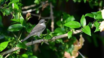 罕見新鳥種白喉林鶯 澎湖花嶼島過境現蹤
