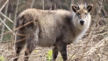 瀕危長鬃山羊誤入「山豬吊」 7旬翁為救牠慘死利角下
