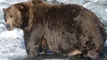 「今年最胖的熊」找到了 棕熊越胖越好並非壞事