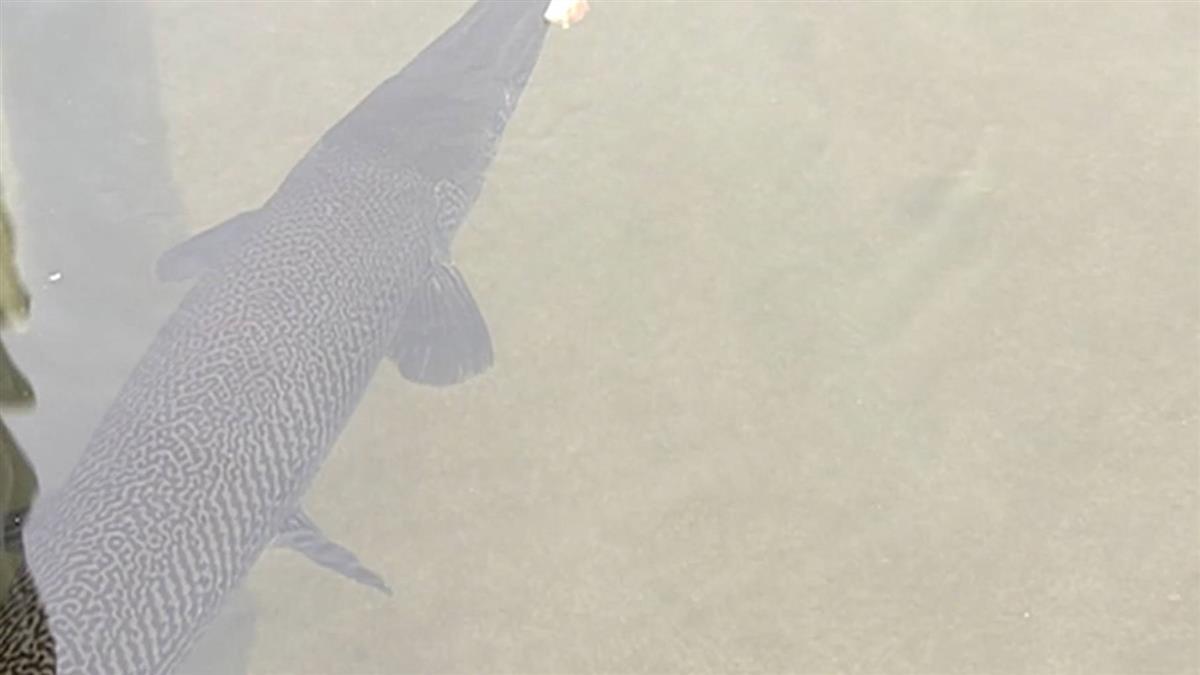 花蓮美崙溪出現「鱷魚火箭」 史前1億年就存在…兇猛無天敵