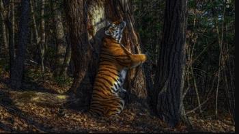 野生動物攝影大賽 俄羅斯「抱樹老虎」勇奪首獎