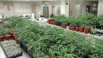 新北警清樓專案 淡水八里查獲大麻共500餘株