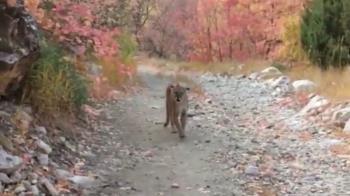 男子山徑小跑偶遇美洲獅 經歷生死六分鐘