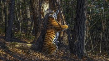 野生動物攝影師大獎: 俄國獸王《擁抱》奪冠 中國出品榜上有名